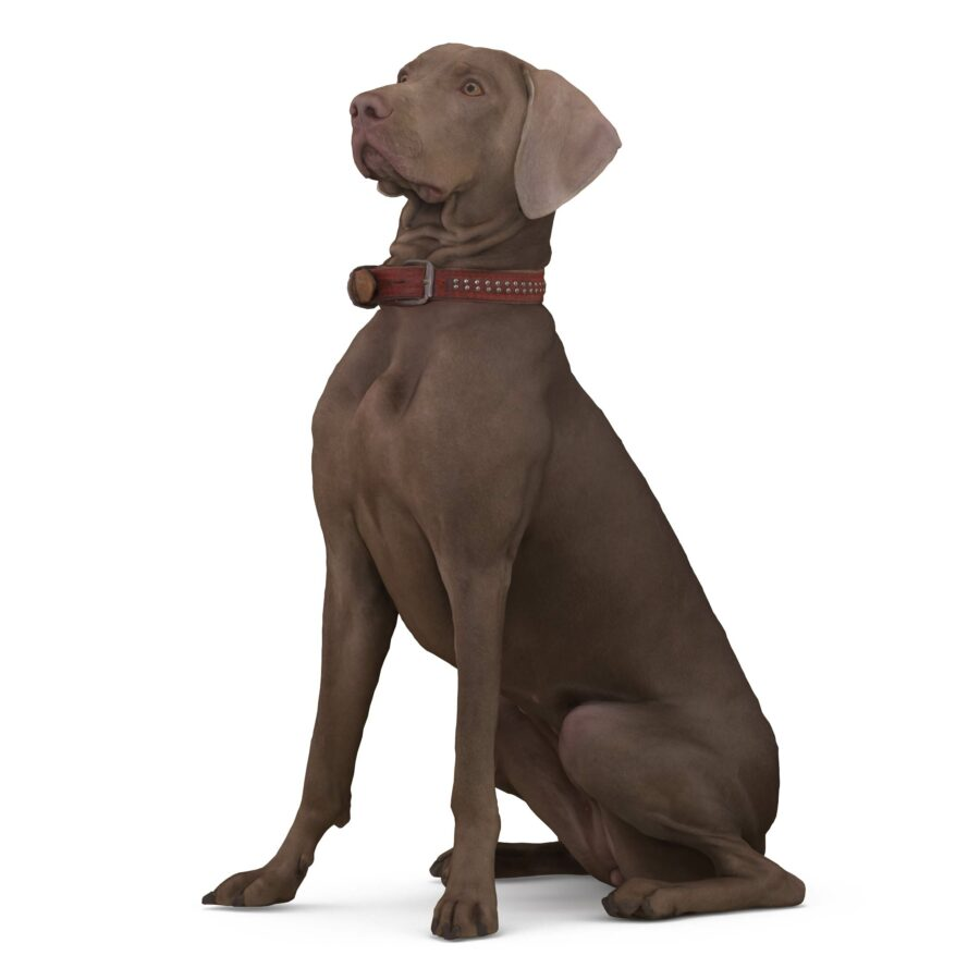 Weimaraner 3d dog sitting scanned 3d model - Renderbot