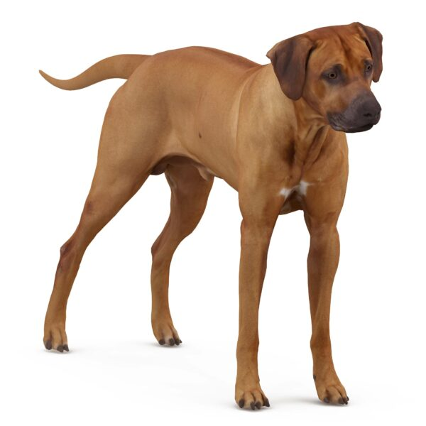Ridgeback 3d dog scanned 3d model - Renderbot