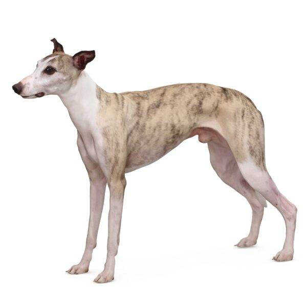 Whippet dog 3d model - scanned 3d model - Renderbot