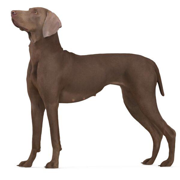 Weimaraner 3d dog scanned 3d model - Renderbot