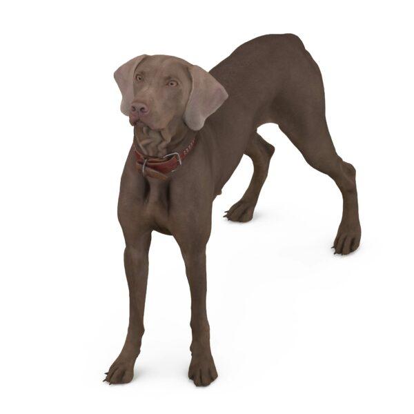 Weimaraner 3d dog in a collar scanned 3d model - Renderbot