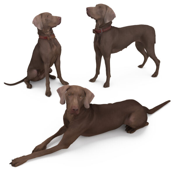 Weimaraner 3d dogs collection - scanned 3d models - Renderbot